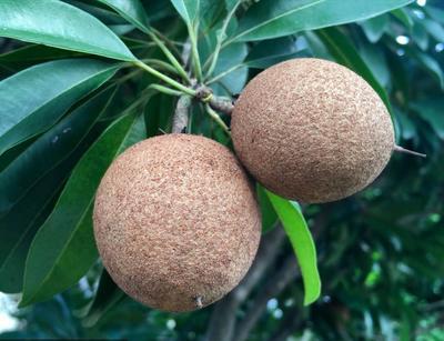 广西壮族自治区钦州市灵山县人心果树苗 珍稀品种 四季结果