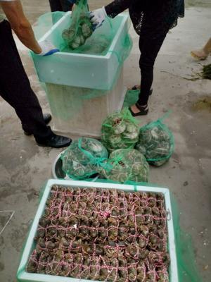 江苏省扬州市江都区生态大闸蟹 3.5两 母蟹