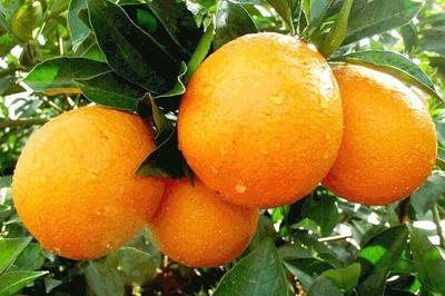 这是一张关于赣南脐橙 55 - 60mm 4两以下的产品图片