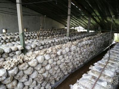 山东省莱芜市莱城区鲜平菇 无异色斑点 6cm以下 ≤5% 无杂质 鲜货