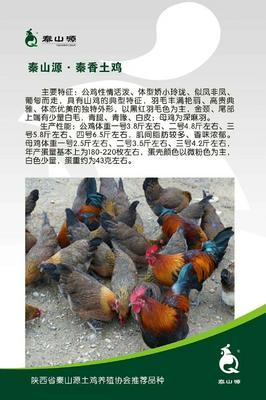 甘肃省平凉市灵台县土鸡 公 4-5斤