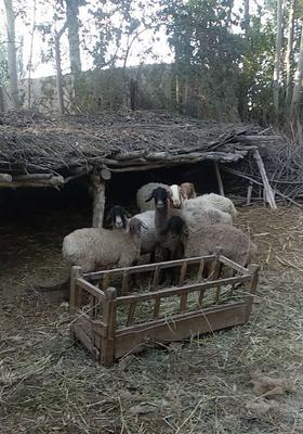 新疆维吾尔自治区喀什地区岳普湖县绵羊肉 简加工