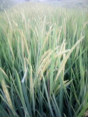 安徽省六安市金安区徽两优丝苗 中稻
