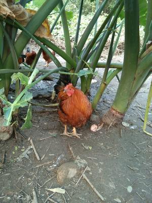 广西壮族自治区钦州市钦北区阉鸡 公 5-6斤