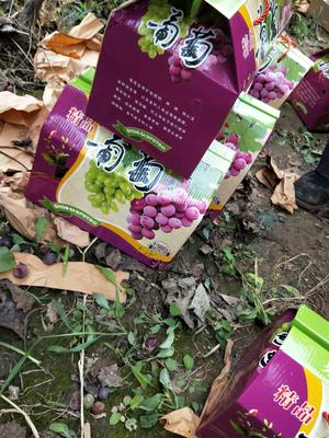 河北省石家庄市晋州市巨峰葡萄 5%以下 1次果 0.6-0.8斤