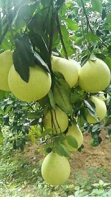 广西壮族自治区梧州市藤县卡因类菠萝 1.5 - 2斤