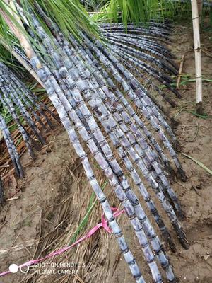 广东省广州市南沙区大灰种甘蔗 2 - 2.5m 4 - 5cm