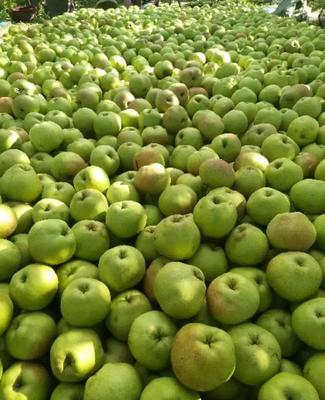 内蒙古自治区巴彦淖尔市临河区苹果梨 150-200g 55mm以上