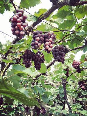 辽宁省辽阳市灯塔市巨峰葡萄 5%以下 1次果 1-1.5斤