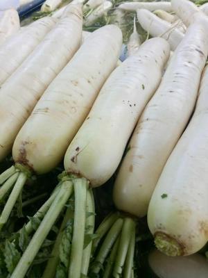 贵州省毕节市纳雍县白萝卜 3.5~4斤