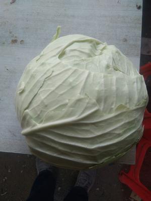 内蒙古自治区赤峰市翁牛特旗奥奇娜甘蓝 1.0~1.5斤
