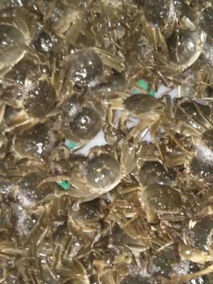 江苏省泰州市泰兴市姜堰簖蟹 2.5-3.0两 母蟹