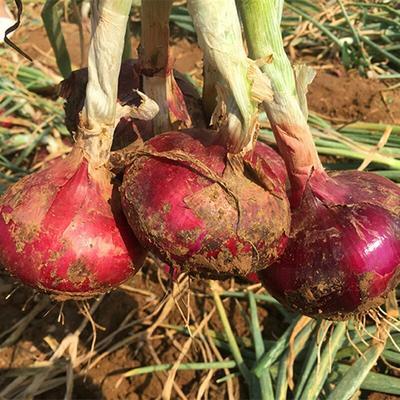江苏省南京市雨花台区紫皮洋葱 4~8cm 紫皮 2.5-3两