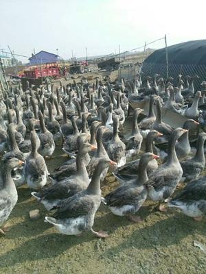 吉林省长春市绿园区灰雁