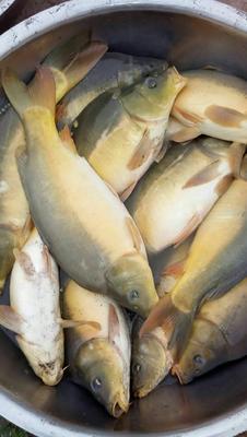 重庆铜梁区裸鲤 人工养殖 0.5-3公斤