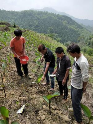 广西壮族自治区百色市西林县芭蕉芋 6cm以上