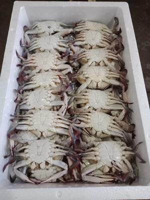 浙江省舟山市普陀区梭子蟹 2.0-2.5两 公蟹