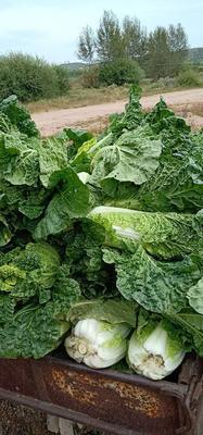 河北省张家口市万全县秋绿60白菜 2~3斤 二毛菜