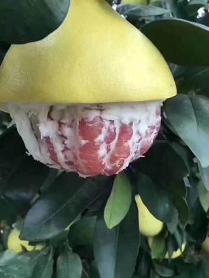 广东省江门市蓬江区梅州蜜柚 2斤以上