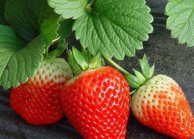 太空2008草莓苗 地栽苗 20~30公分