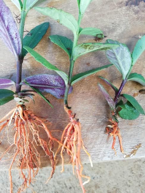 红根野蚕豆种子