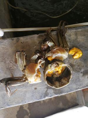 山东省威海市环翠区黄河口大闸蟹 2.0-2.5两 母蟹