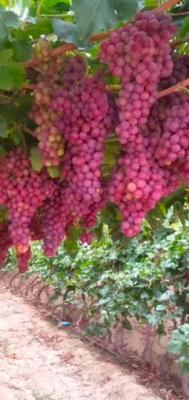 新疆维吾尔自治区伊犁哈萨克自治州奎屯市红提 5%以下 2次果 1-1.5斤