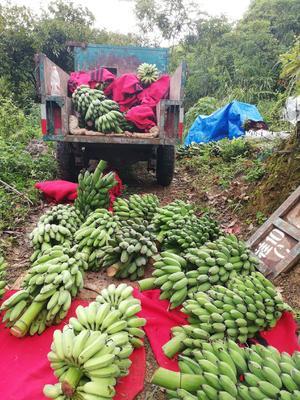广西壮族自治区百色市隆林各族自治县西贡蕉 八成熟 10000.0斤