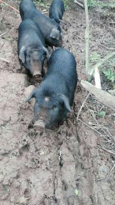 四川省广安市邻水县改良野猪 120斤以上 统货