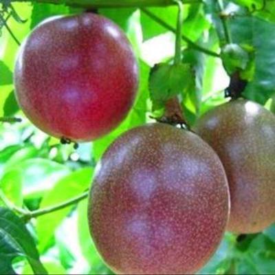 福建省龙岩市新罗区紫红色百香果 70 - 80克