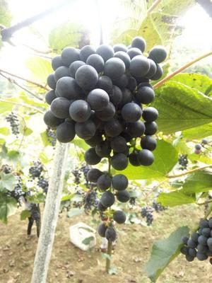 湖北省恩施土家族苗族自治州来凤县山葡萄 5%以下 1次果 1-1.5斤
