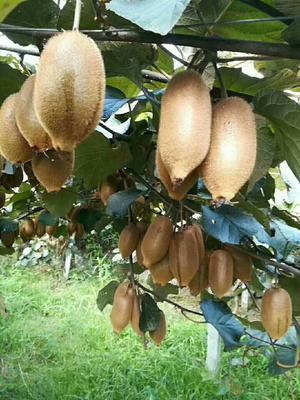 这是一张关于米良1号猕猴桃 70克以上的产品图片