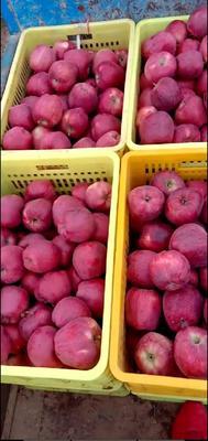 上海松江区花牛苹果 光果 全红 70mm以上