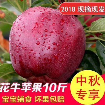 甘肃省陇南市礼县花牛苹果 膜袋 全红 70mm以上