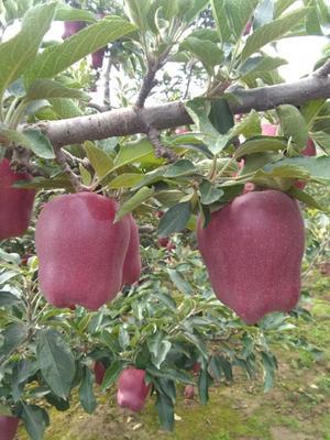这是一张关于花牛苹果 光果 片红 60mm以上的产品图片