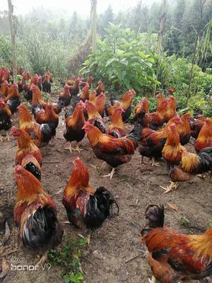 广东省清远市清城区清远鸡 公 5-6斤