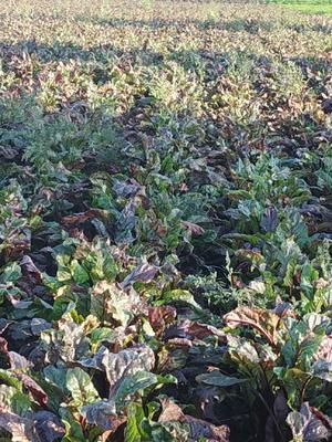 吉林省长春市农安县红甜菜 15cm以上