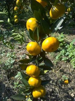 广西壮族自治区柳州市柳南区南丰蜜桔 3.5 - 4cm 1两以下