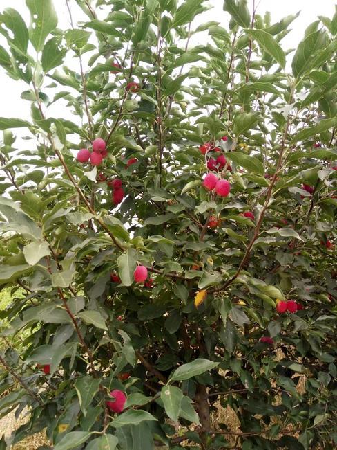 红富士苹果苗 0.5~1米