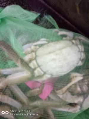 江苏省泰州市泰兴市兴化螃蟹 3.5-4.0两 公蟹