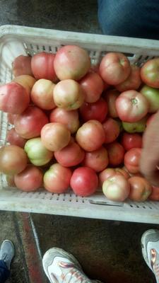 河南省新乡市辉县市硬粉番茄 不打冷 硬粉 弧二以上