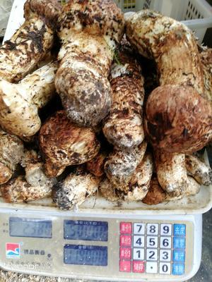 这是一张关于香格里拉松茸 野生 9cm-12cm 未开伞 鲜货的产品图片