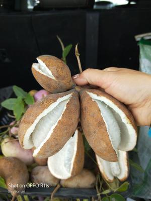 这是一张关于野生八月瓜 种植 150g以上的产品图片