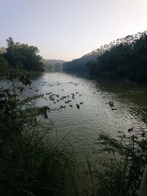 广西壮族自治区钦州市浦北县青头鸭 5-8斤