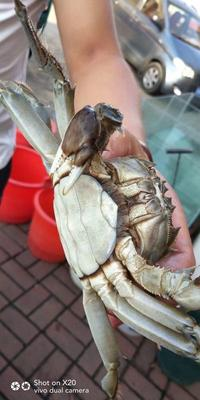 江苏省泰州市泰兴市兴化螃蟹 2.5-3.0两 母蟹