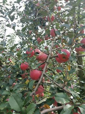 这是一张关于昭通苹果 光果 片红 75mm以下的产品图片