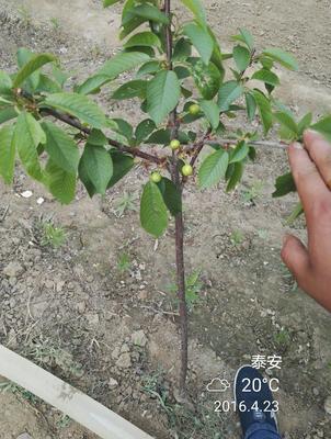 山东省泰安市岱岳区矮化樱桃苗
