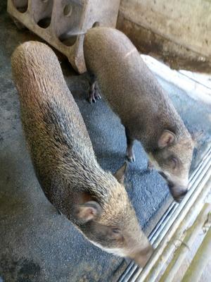 广东省肇庆市端州区特种野猪 100斤以上 统货