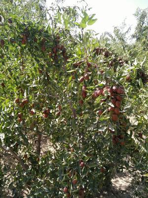 新疆维吾尔自治区喀什地区麦盖提县大漠园灰枣 统货