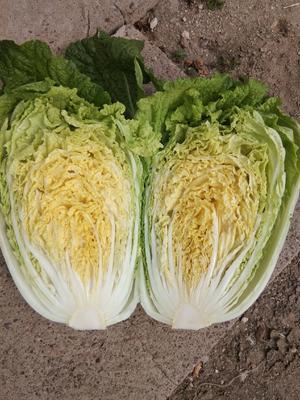 辽宁省锦州市凌海市黄心大白菜 3~6斤 净菜